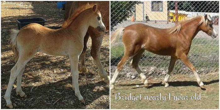 Gorgeous blingy child's pony prospect