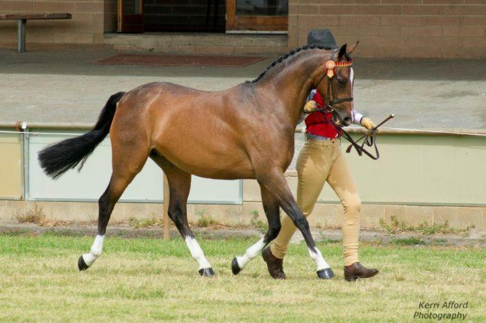 Langtree Love Charm - Fabulous Child's Pony