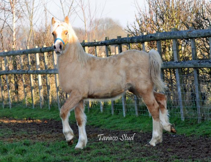 Top class welsh cob colt (for import from UK)