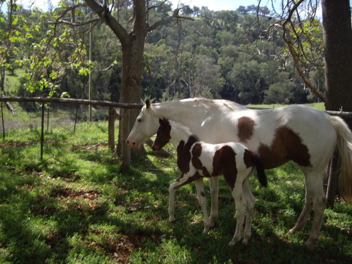 registered paint mare with foal
