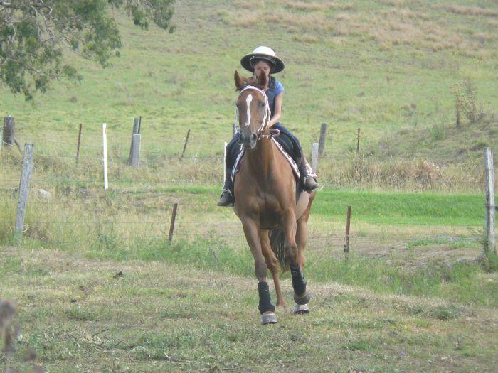 Quiet Ash Mare Australian Stock Horse Horsezone