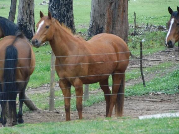 Purebred Registered Quarter Horse