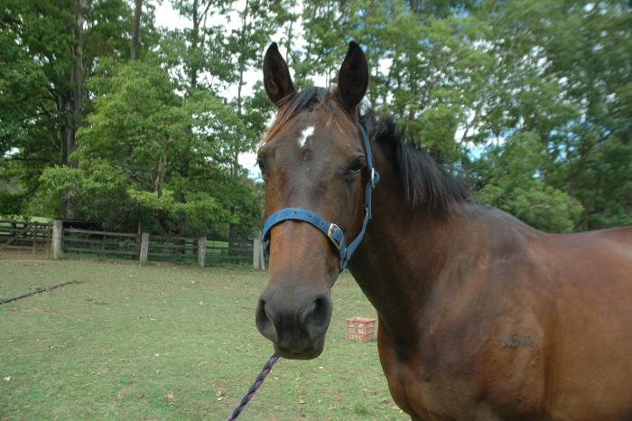 Bay Warmblood mare 15.3h kind willing temperament