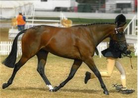 Stunning Riding Pony