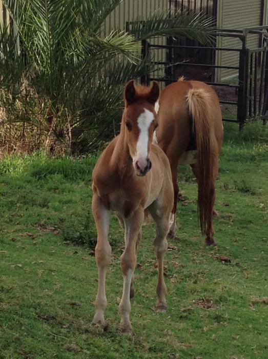 Quarterhorse x Arabian