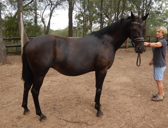 Galloway Broodmare - In foal to German Riding Pony