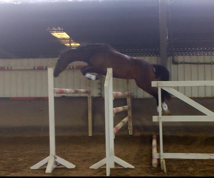 Jumping Mare Belcam Nicole