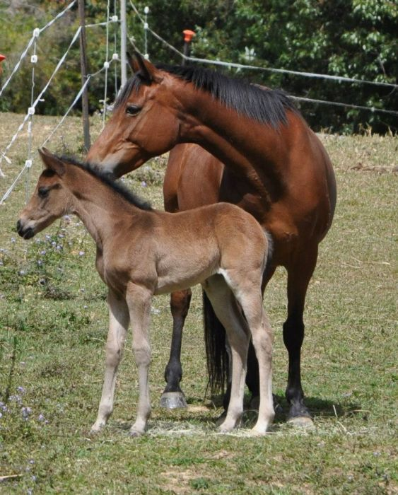 Partbred Spanish Mustang Filly