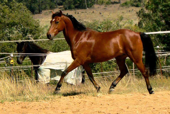 VALENTINE - bay pony gelding, aprox 8y.o, 13.2hh