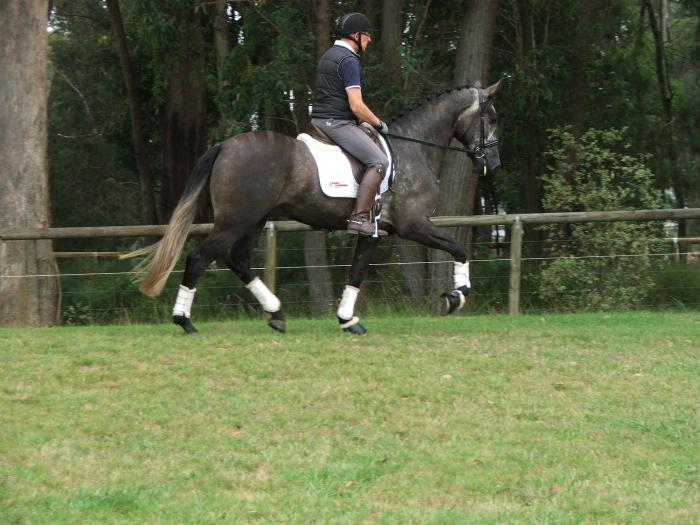 Pure Lusitano For Sale