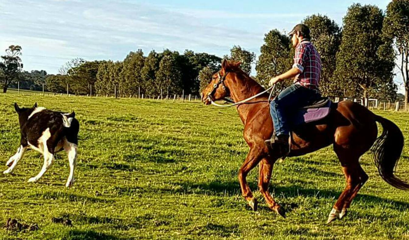 Quarter Horse Mare