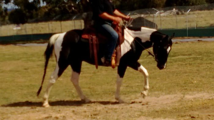Black and White Paint Horse Gelding