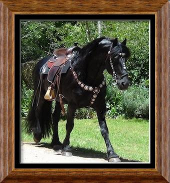 Magnificent Friesian Horses for sale