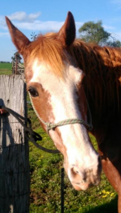 Paint x Quarter Horse Mare