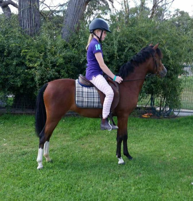 Welsh Riding Pony PRICED TO SELL!