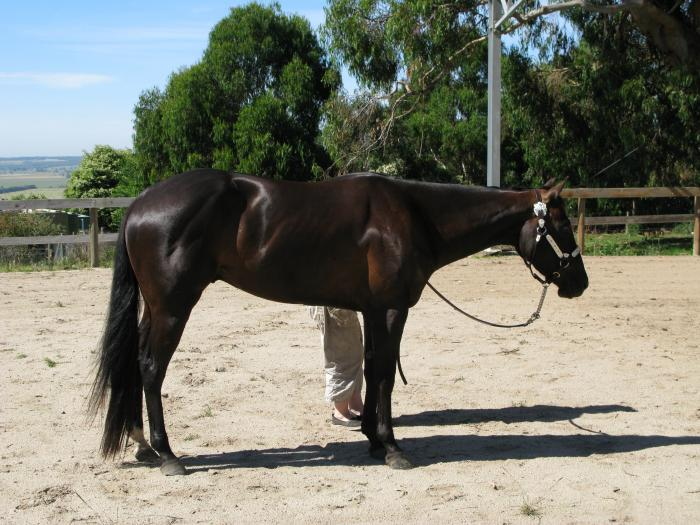 beautiful black  gelding  needing a new home