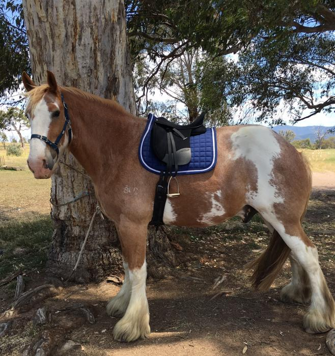 Eye-catching purebred Clydesdale gelding
