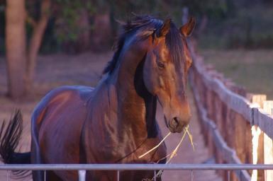 Sire- Sydney Australis