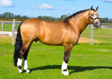 Supreme Led Horse - SABS Show June 2017