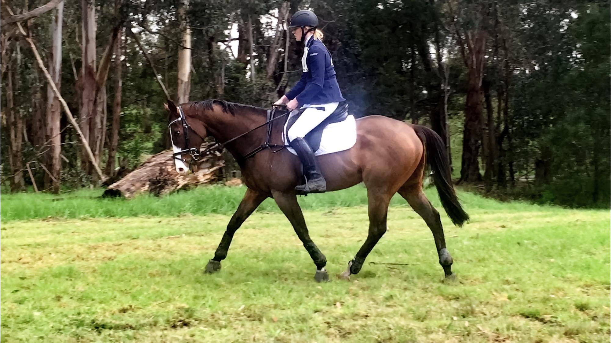 16.1h 7yo thoroughbred gelding all rounder