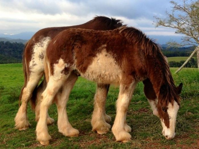Clydesdale Colt