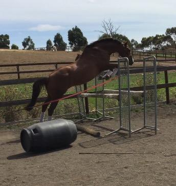 Stunning Stock Horse Mare With Huge Potential