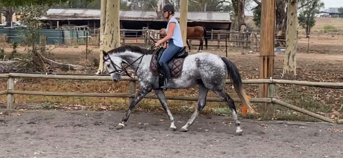 8yo Grey Thoroughbred Mare