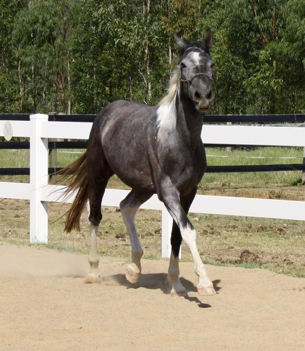 3yo half Andalusian quarter friesian coloured geld