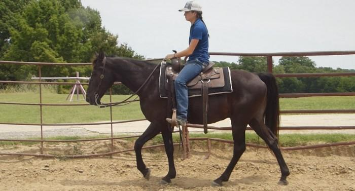 Clyde - Tennessee Walking Horse, Gelding for sale