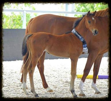 Third foal Bellaire Cinnamon