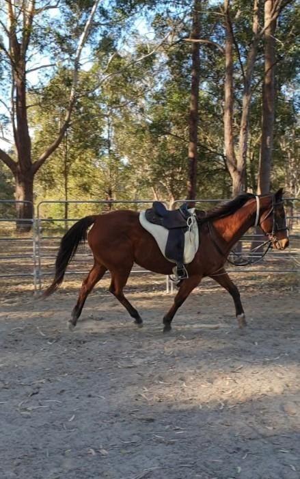 Bay Thoroughbred Mare - Lekker Ding (NZ)