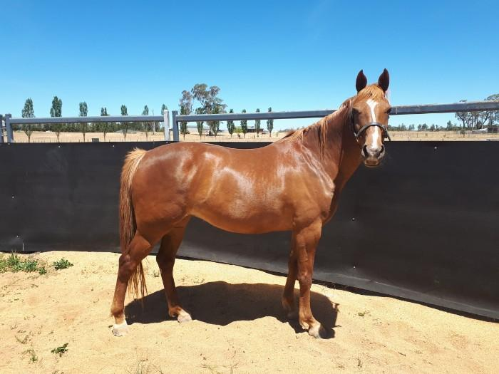 Gorgeous Chestnut filly with flaxen mane/tail