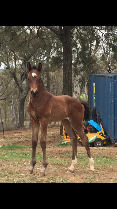 WB x TB Filly *PRICE REDUCED*