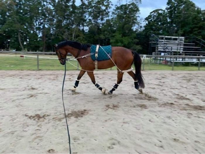 Attractive well bred warmblood