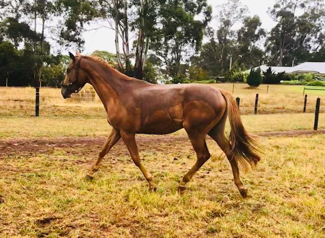 2YO Warmblood Filly