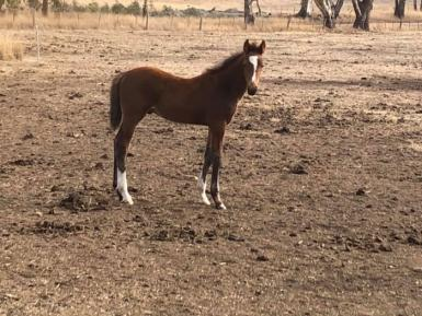 Colt in May that's for sale