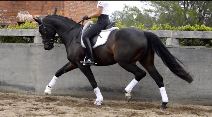 Beautiful Advanced Dressage Mare