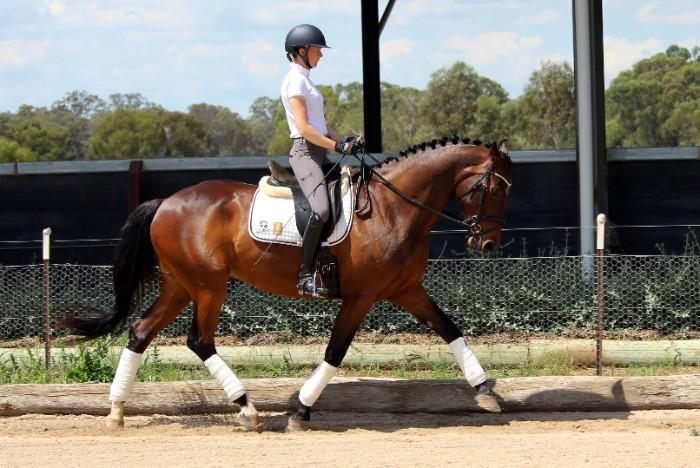 Talented Gelding training Medium