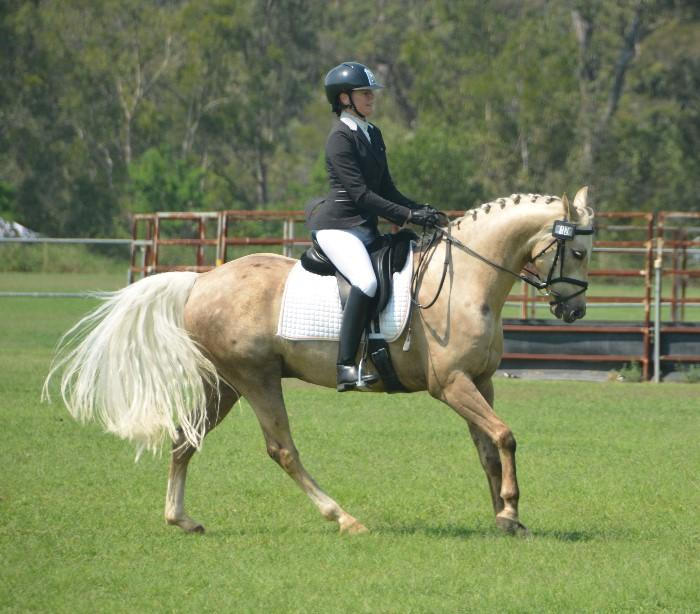 Eye catching dressage pony small galloway