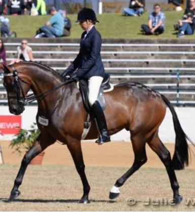 Kitara Top Contenda - Royal Show winning Showhorse