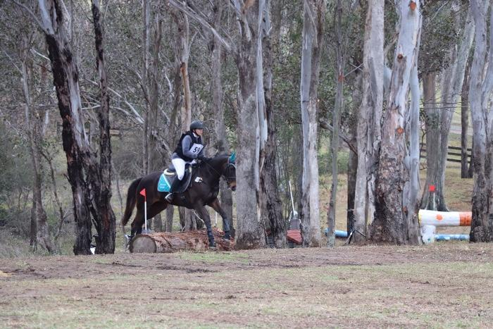 Australian Stock Horse for sale