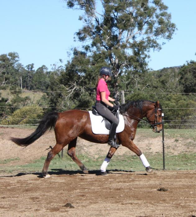Trainable Warmblood mare by Grisham