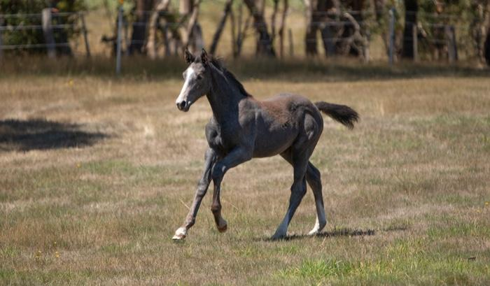 Big moving super dressage filly