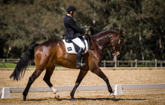 Warmblood Gelding (Sire Bellario IMP) Hanoverian