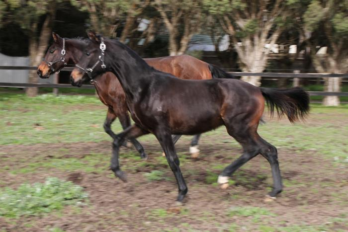 Finest IFS Warmblood weanling Filly Flemmingh dam