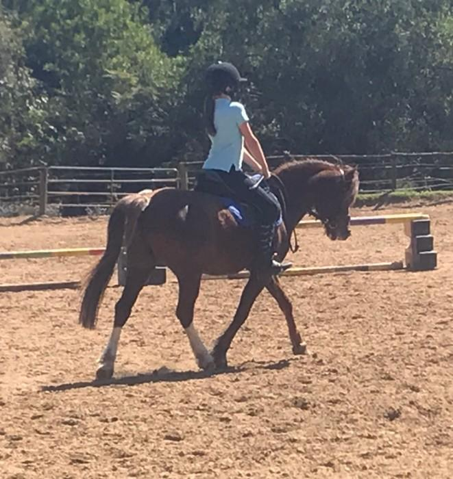 Ripper Welsh Gelding