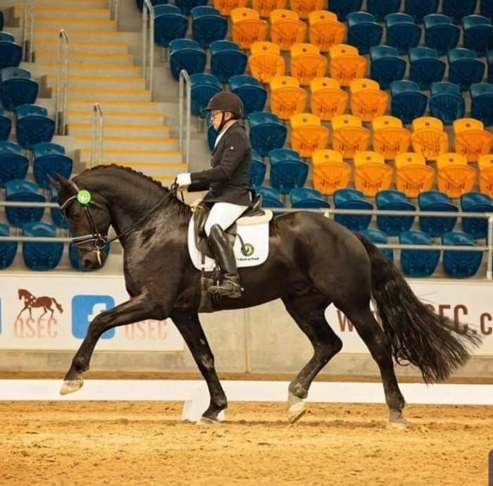 Imp.Friesian Star Breeding permit Stallion