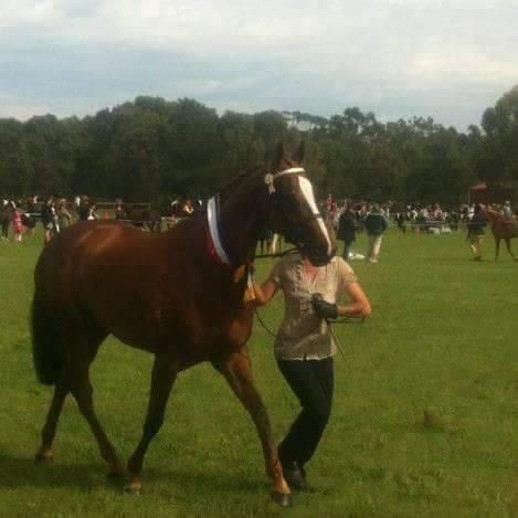 Show quality thoroughbred broodmare