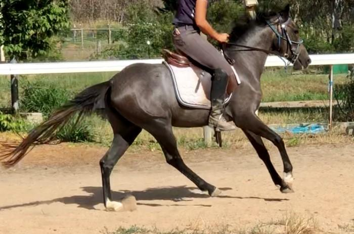 LL Glam Rock - 3yo dressage bred Riding Pony