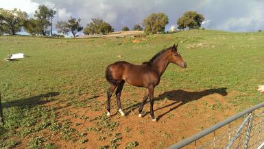 Anzac Acca Dacca (filly deseased due t paddock injury)